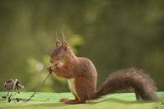 Squirrel is holding a Golf stick Stock Photos