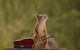 Squirrel is holding  a guitar in hands. Red squirrel is holding  a guitar in the hands Royalty Free Stock Photo
