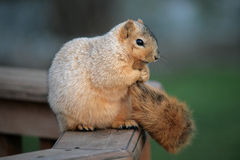 Squirrel Holding Her Tail royalty free stock image