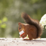 Squirrel holding machbox with matches Stock Images