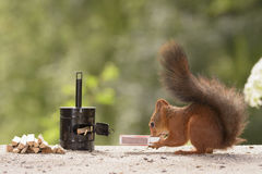 Squirrel holding a Matchbox Stock Image