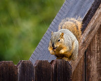 Squirrel holding a nut on fence Royalty Free Stock Photography