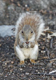 Squirrel holding nut Stock Photos