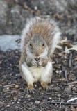 Squirrel holding nut Stock Photos