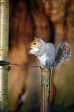Squirrel holding a nut while standing on a post. A gray squirrel holding a nut while standing on a post Stock Image