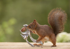 Squirrel is holding a nutcracker Royalty Free Stock Photos