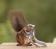 Squirrel holding a nutcracker Stock Photos