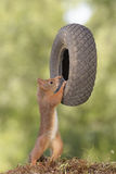 Squirrel is holding a tyre Stock Photography