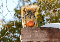 Squirrel holding winter apple Stock Image