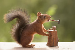 Squirrel holds a axe in mouth Royalty Free Stock Images