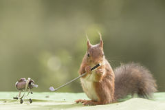 Squirrel holds a Golf stick Royalty Free Stock Photos