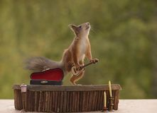 Squirrel is holds  a guitar and looking up. Red squirrel is holding  a guitar and looking up Stock Photography