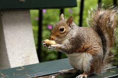 Squirrel holds a peanuts on bench in the park stock photography