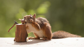Squirrel holds a saw in mouth  and hands Stock Photography