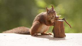 Squirrel holds a saw in mouth Royalty Free Stock Photography