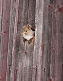 Squirrel in the hole. Cute squirrel look out of the recess stock image