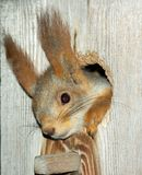 Squirrel in the hollow. In the drey Stock Image