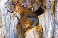 Squirrel in hollow forest tree bark Royalty Free Stock Image