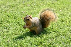 Squirrel hording nut. Royalty Free Stock Photo