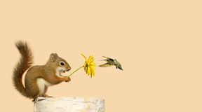 Squirrel and hummingbird friends. Greeting card design with a baby squirrel holding up a yellow flower for his little hummingbird friend to feed on, with copy royalty free stock photos