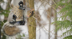 Squirrel hung on bird feeder Royalty Free Stock Images