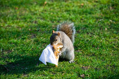 A squirrel in hyde park. A squirrel was eating icecream in hyde park Royalty Free Stock Photo