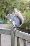 Squirrel in Hyde Park. London. England. Summer time Royalty Free Stock Photos