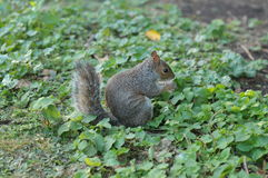 Squirrel in Hyde Park. Squirrel is eating nuts in Hyde Park Royalty Free Stock Image