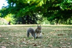Squirrel on Hyde Park in London, England, UK. Animal, architecture, beautiful, britain, british, city, cute, england, english, europe, garden, green, hyde stock image