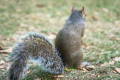 Squirrel on Hyde Park in London, England, UK. Animal, architecture, beautiful, britain, british, city, cute, england, english, europe, garden, green, hyde royalty free stock photography
