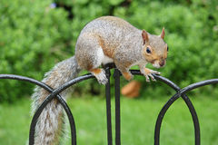 Squirrel in Hyde Park in London. Squirrel looking for food in Hyde Park in London Stock Photography