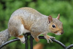 Squirrel in Hyde Park in London Stock Image