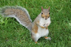 Squirrel in Hyde Park in London. Squirrel standing looking with curiosity Stock Photos