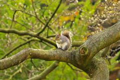 Squirrel in Hyde Park in London. Squirrel on a tree branch  in the park Stock Photography