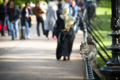 Squirrel in Hyde Park in London, UK Royalty Free Stock Image
