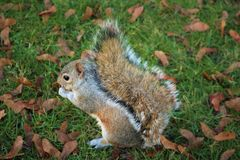 Squirrel in the Hyde Park. Look on the Squirrel in Hyde Park, London Royalty Free Stock Image