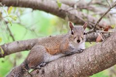 Squirrel. Relaxing on the tree staring at me stock images