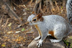 Squirrel I  Stock Image