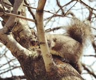 Squirrel I found in one of the park& x27;s around Chicago royalty free stock images