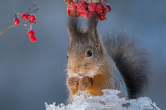 Squirrel in iceland Royalty Free Stock Image