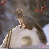 Squirrel on igloo with ski Royalty Free Stock Photos