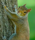 Squirrel II. Vertical photo of a grey squirrel on a tree stock photos