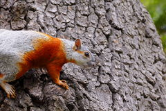 Squirrel III Royalty Free Stock Photography