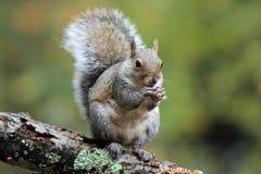 Squirrel il cibo Immagine Stock Libera da Diritti