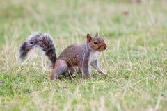 Squirrel il cibo Immagine Stock