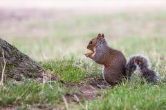 Squirrel il cibo Immagini Stock Libere da Diritti