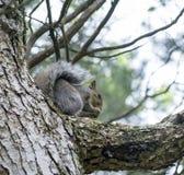 Squirrel il cibo Fotografia Stock Libera da Diritti