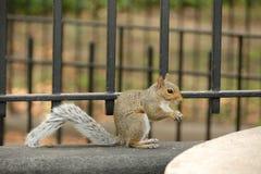 Squirrel il cibo Fotografie Stock Libere da Diritti