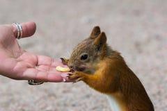 Squirrel il cibo Fotografia Stock