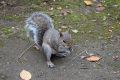 Squirrel il cibo della nocciola, il parco di unico nato, Swansea, Regno Unito Fotografia Stock Libera da Diritti